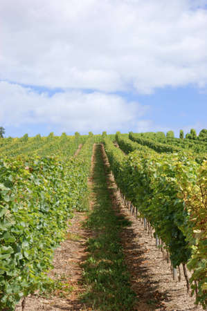 Vineyard in the Rhine valley in summer Stock Photo