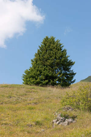 Fir tree in an alpine meadow against a vivid blue sky