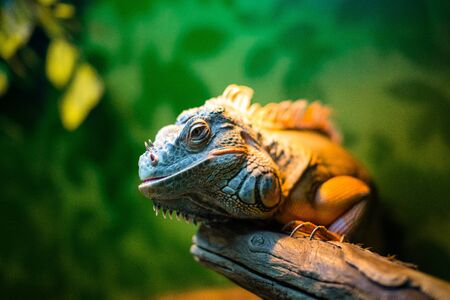 iguana on a branch in a contact zoo
