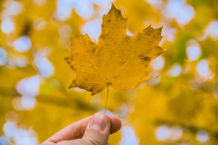 Fallen maple tree leaf held up with blurred background Stock Photo