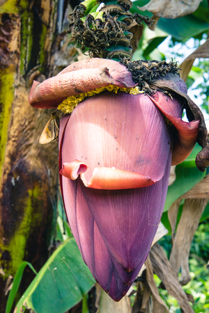 bunch of hearts: Closeup of a banana flower still attached to the plant.