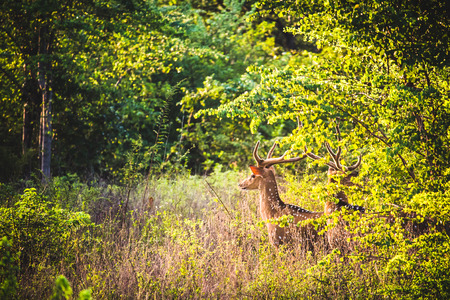 Spotted male horned deer look out across the fields of Udawalawe natural reserve, Sri Lanka. Stock Photo