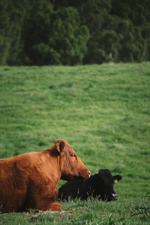Two cows, one brown and one black, lie in a field taking a rest in the early morning. Stock Photo
