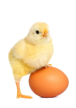 Cute yellow baby chick photo