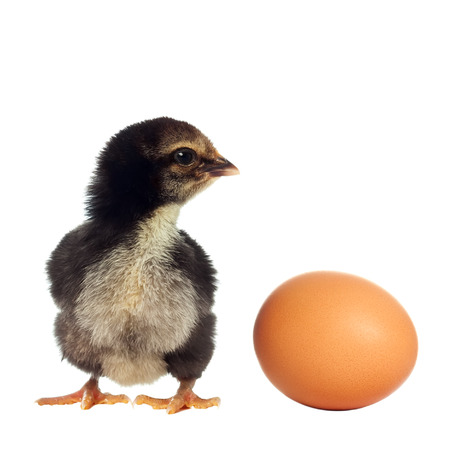 chicken and egg: Black chicken isolated with egg