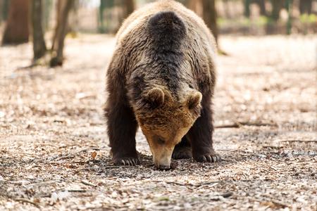 brown: Brown bear Stock Photo