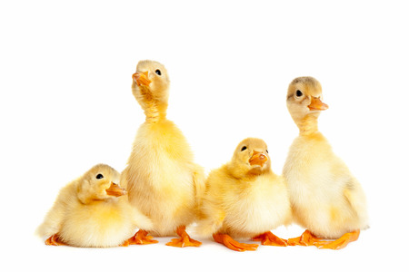 duckling: Group of little duckling Stock Photo