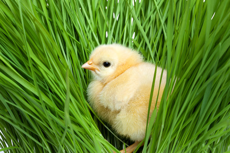 Fluffy chick on green grass Standard-Bild