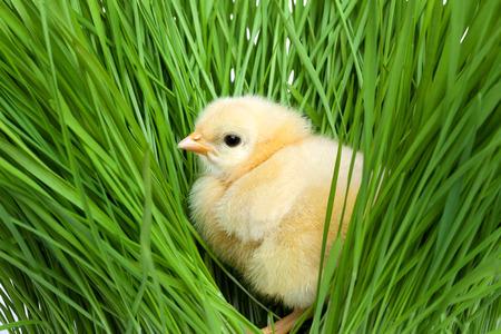 Polluelo mullido en hierba verde Foto de archivo - 41664423