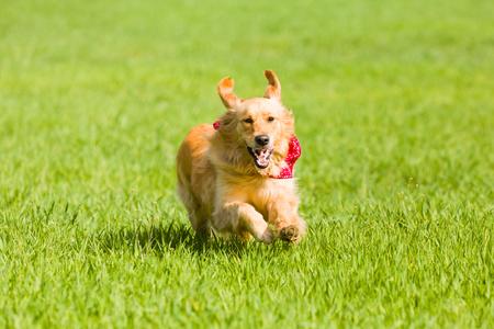 dog run: Golden retriever running on the lawn