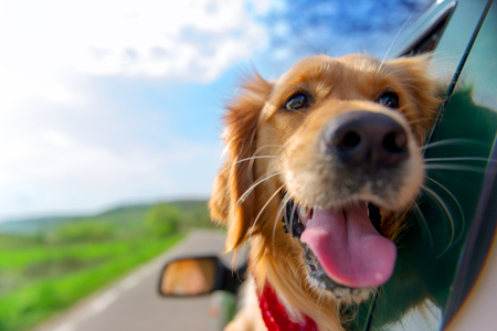 Golden Retriever Looking Out Of Car Window 版權商用圖片 - 57131838
