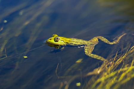 danube delta: Edible frog in water at Danube Delta Stock Photo