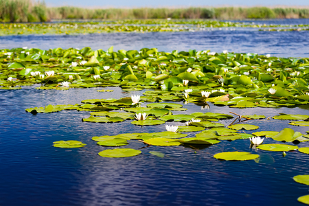 white water: White water lilies in the Danube delta, Romania