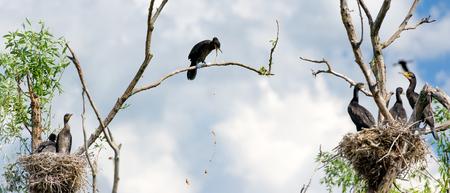 vomito: nidos de cormoranes en un �rbol y los v�mitos en el delta del Danubio