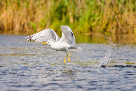 danube delta: Flying seagull in the Danube delta reserve Stock Photo