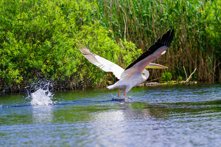 danube delta: White pelicans (pelecanus onocrotalus) in flight in Danube Delta, Romania