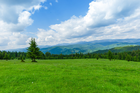arbol de pino: Pine tree forest in the montains, Romania