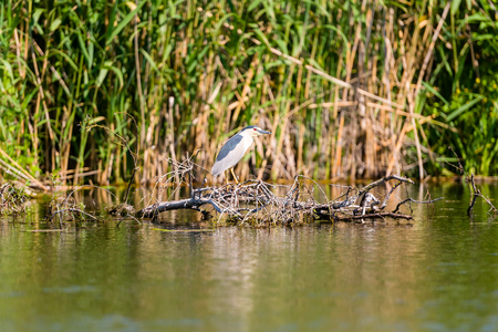 subspecies: Black-crowned Night Heron at Danube Delta