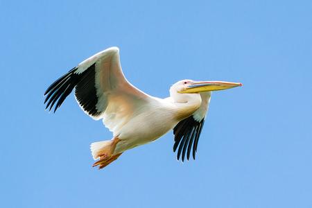 Pelican in flight at the Danube Delta, Romania