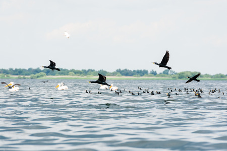 cormorants: Pelicans and cormorants flocks flying in the Danube Delta, Romania Stock Photo