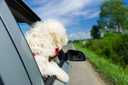 bichon: Bichon Frise Looking out of car window