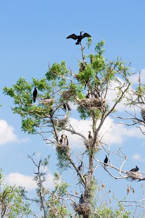 danube delta: Cormorant nests in tree in Danube Delta