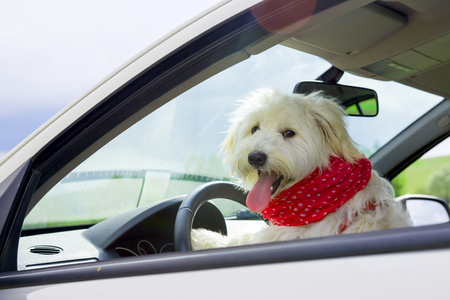 car wheel: Dog driving a steering wheel in a car