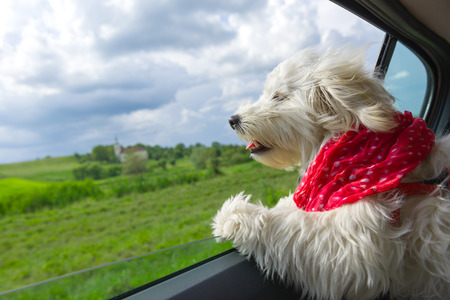 Perro que goza de un paseo con el coche Foto de archivo - 61317530