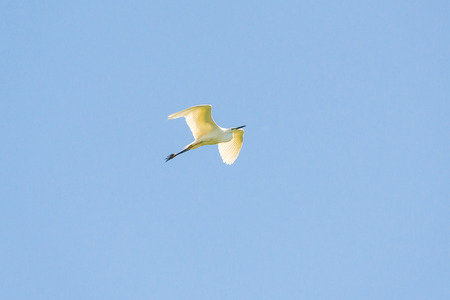 white fly: Beautiful Great white egret fly in wildlife Stock Photo