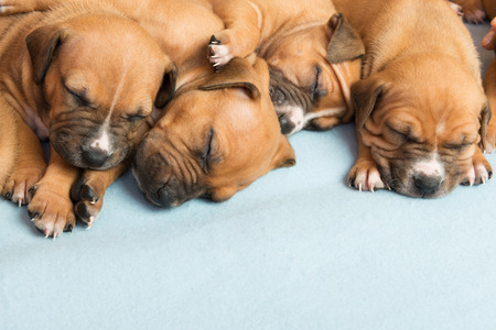 Picture of  Cute amstaff puppy. One month old Stock Photo