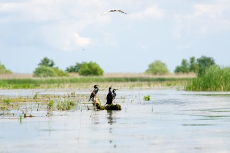 Cormorant family in Romania, Danube Delta