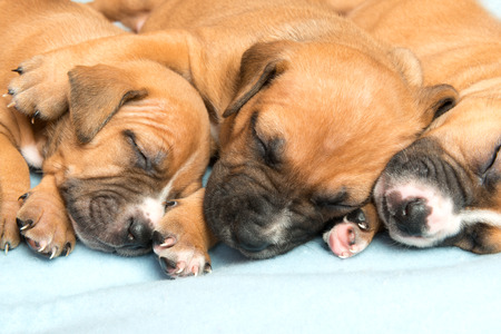 amstaff: Picture of  Cute amstaff puppy. One month old Stock Photo