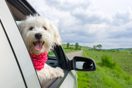 Bichon Frise Looking out of car window Stock Photo - 63657142