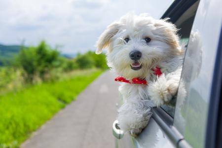 ビションフリーゼが車の窓から外を見てください。