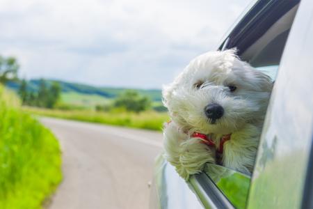 Bichon Frise En regardant par la fenêtre de voiture Banque d'images