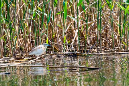 danube: Squacco Heron bird in Danube Delta