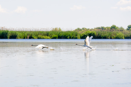 water fowl: White swans, Danube Delta, Romania Stock Photo