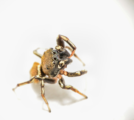 salticidae: Jumping spider looking out