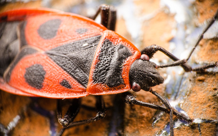 firebug: Firebug from top on a ceramic surface Stock Photo
