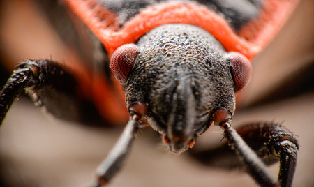firebug: Detail of a firebugs head