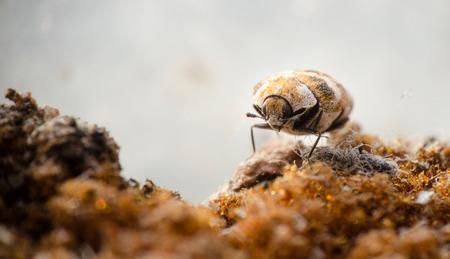 古いスポンジの上を歩いてヒメマルカツオブシムシのマクロ写真 写真素材