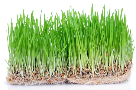 Fresh green grass sprouted grains with roots isolated on white background.
