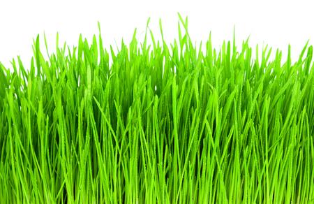 cebada: La hierba verde fresca con gotas de rocío de aislamiento en los fondos blancos