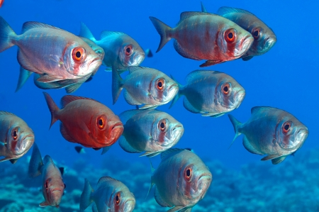 moon fish: School of bigeye over blue background