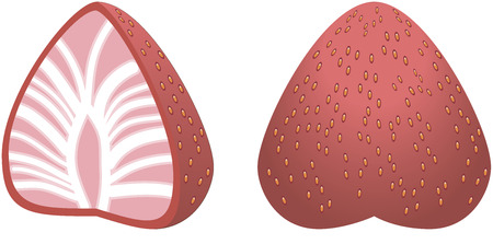 cutaway: Big strawberry in cutaway. Here we can see the inner and outer parts of strawberry. Illustration