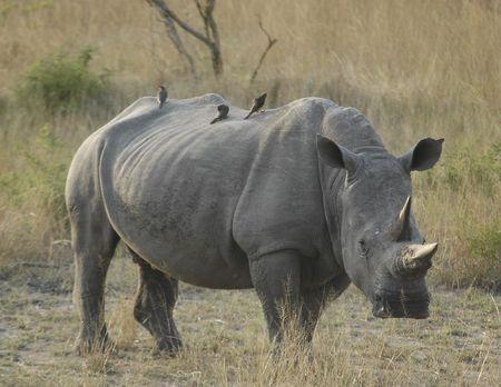 savana: Rinoceros in Tfrican savana Stock Photo