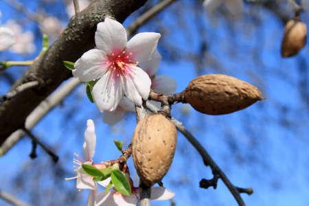 La fioritura primaverile di un mandorlo.  Archivio Fotografico