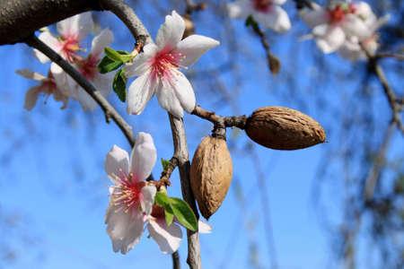 La fioritura primaverile di un mandorlo.