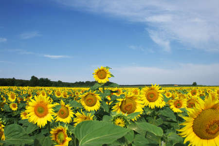 close range: A sunflower is summer watching at a close range in sunshine.