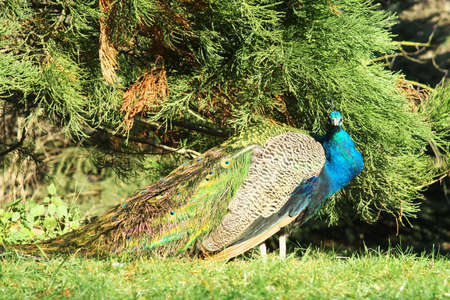 incubate: Indias national bird.it was resettled today in a state of nature into more countries is found . Stock Photo